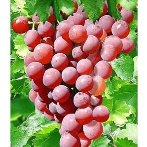 Tafel-Trauben »Vanessa®«, Weinreben, rot, kernlos, winterhart, 300 - 750 cm Wuchshöhe