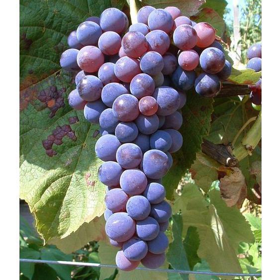 Tafel-Trauben »Venus®«, Weinreben, kernlos, sehr ertragreich, 300 - 750 cm Wuchshöhe