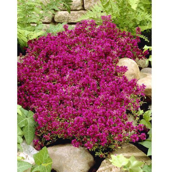 Teppichthymian, 4 Pflanzen, rot blühend