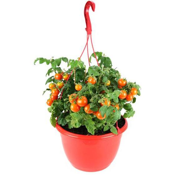 Tomate im Ampeltopf Ø 25 cm