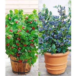 Topf-Heidelbeere Blue Parfait® & Topf-Himbeere BonBonBerry® YUMMY, 2 Pflanzen
