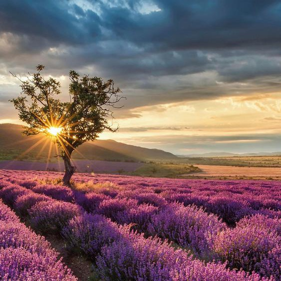 Vliestapete Lavendelblüte in der Provence, Wall-Art Maße (B/H): (192/260 cm) bunt Fototapeten Tapeten Bauen Renovieren