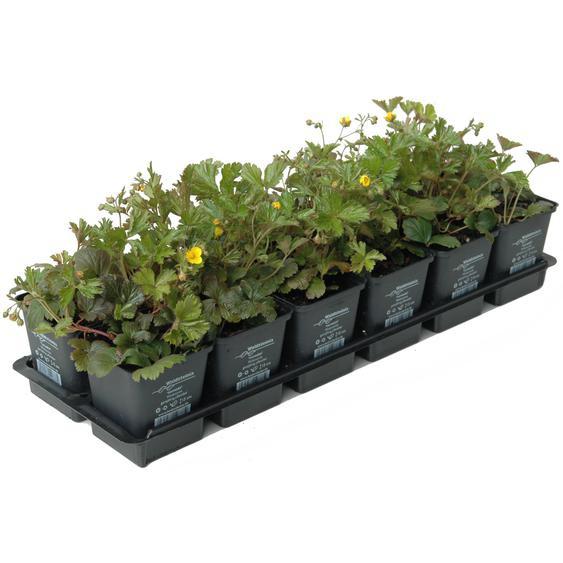 Waldsteinia gelb 1 qm 9 cm Topf 12er-Set