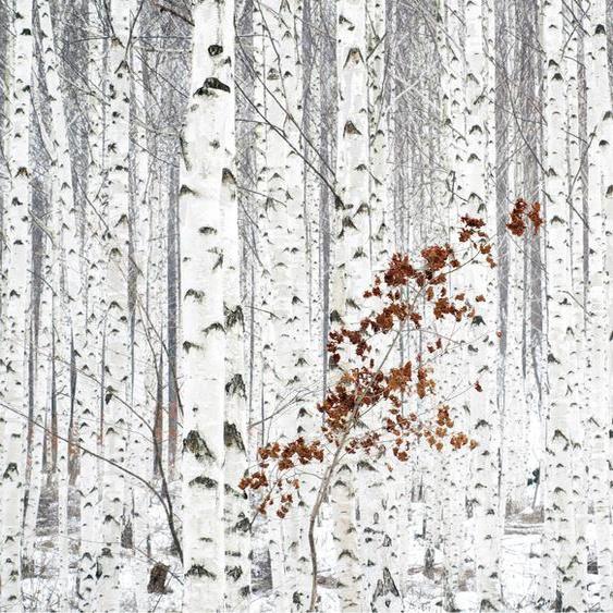Wall-Art Vliestapete Han - Birkenwald B/L: 3,84 m x 2,6 weiß Fototapeten Tapeten Bauen Renovieren