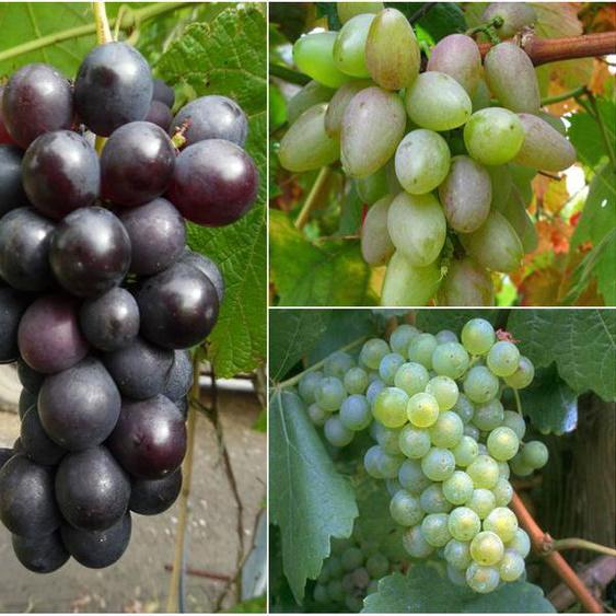 Weinreben »Suffolk Red«, »Phoenix« und »Regent«, 3 Pflanzen in rot, weiß und blau, robust