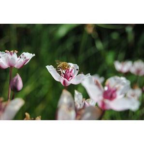 Weiße Blumenbinse Alba, 9 x 9 cm Topf, 3er-Set