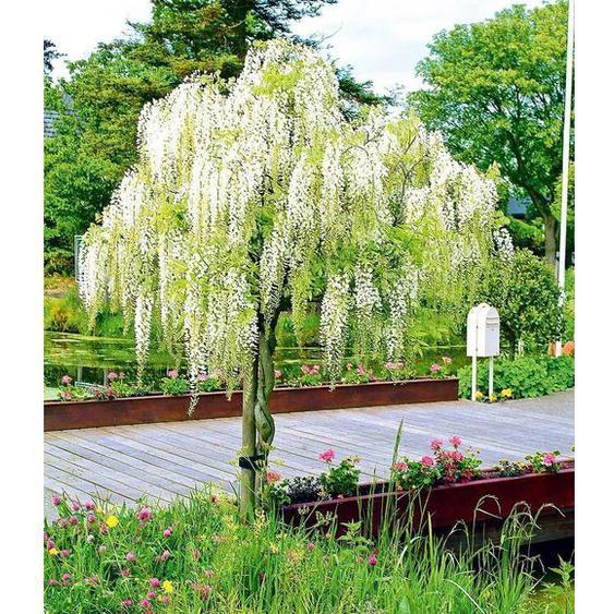 Weißes Blauregen-Stämmchen Alba,1 Pflanze