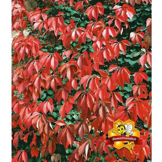 Wilder Wein Quinquefolia, 1 Pflanze