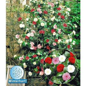 Winterharte Garten-Kamelie Tricolor, 1 Pflanze Camellia japonica
