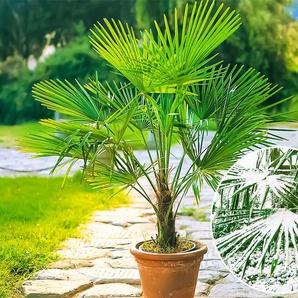 Dummy Marke Winterharte Kübel-Palme,1 Pflanze, Trachycarpus fortunei