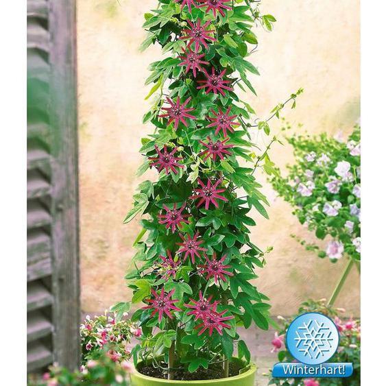 Winterharte Passionsblumen Ladybirds Dream, 1 Pflanze, Passiflora