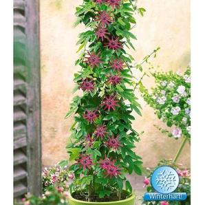 Dummy Marke Winterharte Passionsblumen Ladybirds Dream, 1 Pflanze, Passiflora