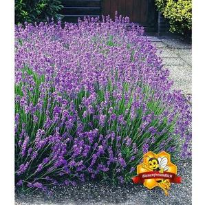 Winterharte Stauden Lavendel-Hecke Blau, 9 Pflanzen Lavandula angustifolia Munstead