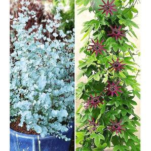 Dummy Marke Winterharter Eukalyptus & Winterharte Passionsblume, 2 Pflanzen