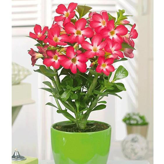 Wüstenrose Rot,1 Pflanze