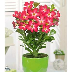 Dummy Marke Wüstenrose Rot,1 Pflanze