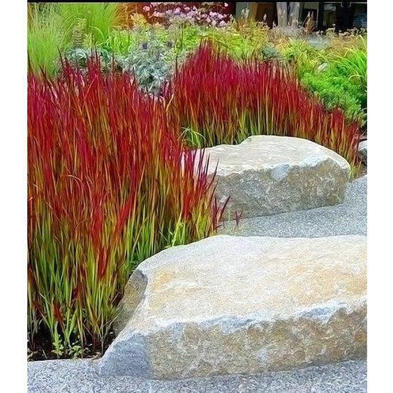 Ziergras Red Baron Japanisches Blutgras Flammengras, 3 Pflanzen Imperata cylindrica