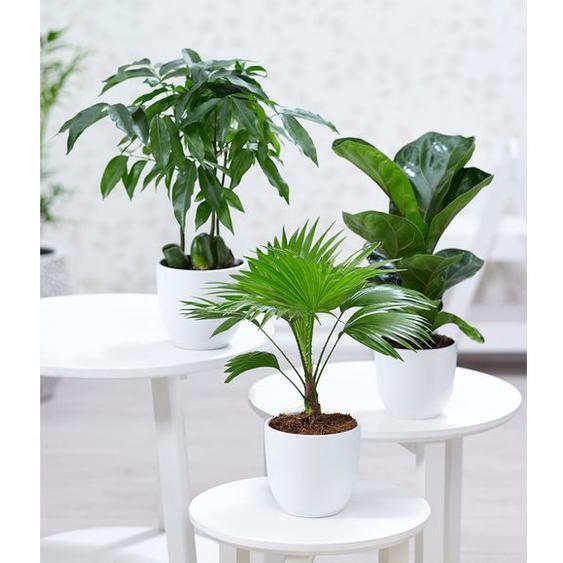 Zimmerpflanzen-Mix Royal,3 Pflanzen
