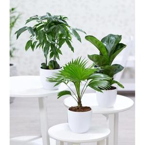 Dummy Marke Zimmerpflanzen-Mix Royal,3 Pflanzen