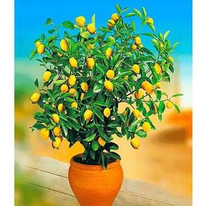 Zitronen-Bäumchen,1 Pflanze Citrus limon Zitruspflanze