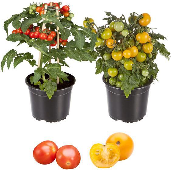 Zwerg-Tomate Primabell® & Primagold® 13 cm Topf, 2er-Set