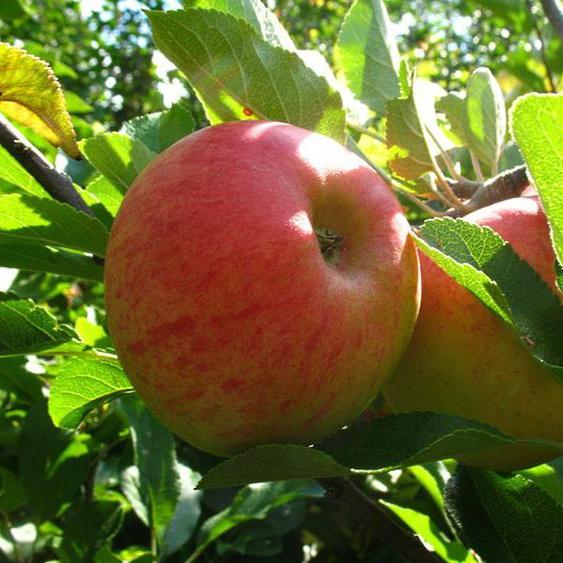 Zwergapfelbaum »Elstar«, 1 Spindel, 1,8 - 2 Meter Wuchshöhe, mittelgroße Früchte, saftig