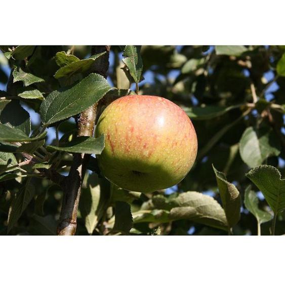 Zwergapfelbaum »Jonagold«, 1 Spindel, 1,8 - 2 Meter Wuchshöhe, mittelgroße süße Früchte